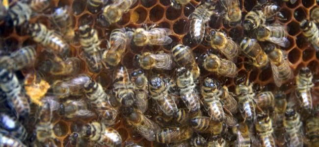 Blumenzwiebeln und Bienen