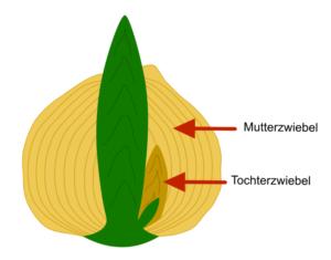 Schema Blumenzwiebel