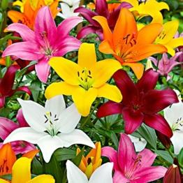 5x-lilium-lambada-5er-mix-lilien-zwiebeln-winterhart-gemischte-farben-blumenzwiebeln-mehrjaehrig-o-12-14-cm-1