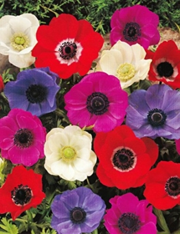 anemonen-coronaria-de-caen-gemischt-50-blumenzwiebeln-1