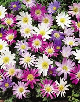 anemonen-zwiebeln-blanda-gemischt-50-blumenzwiebeln-1