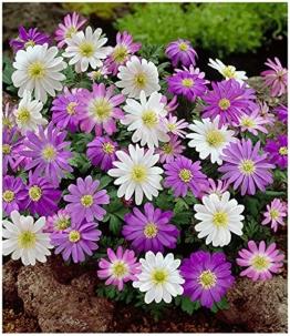 baldur-garten-anemonen-bunter-mix-25-zwiebeln-anemone-blanda-1