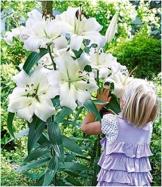 baldur-garten-tree-lily-pretty-woman-3-zwiebeln-baumlilien-lilium-hybride-lilien-zwiebeln-winterhart-duftend-1