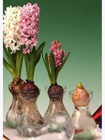 samenshop24-hyazinthenglaeser-klar-3-stueck-ideal-fuer-praeparierte-hyazinthen-vase-fuer-schnittblumen-deko-premium-qualtitaet-3