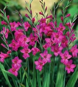 winterharte-wild-gladiolen-byzantinus-25-blumenzwiebeln-1